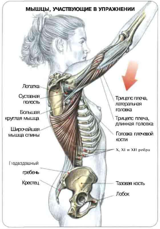 Мышца Круглая фото